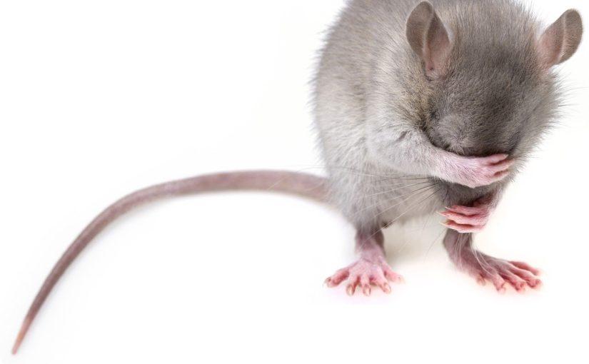 Szczur w piwnicy, potrzebna pomoc.Gdzie powinno się jej szukać?